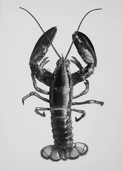 William Harrison, Nantucket Shoals Lobster 2012, Wolff Carbon Pencil on Paper